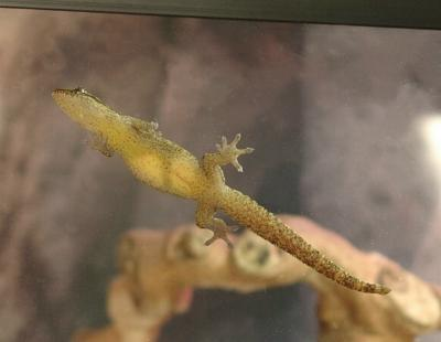 Dead Guam House Gecko by lyra919 on DeviantArt